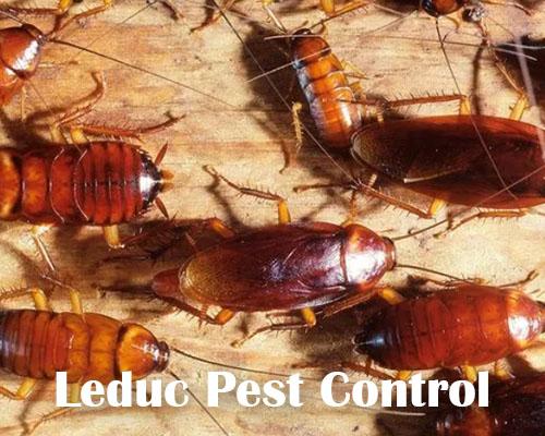 Cockroach Problem in Leduc Alberta
