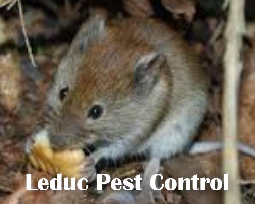 Mice Traps in Leduc