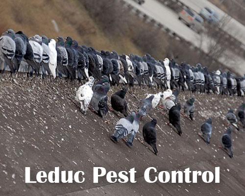 Pigeon Control in Devon Alberta