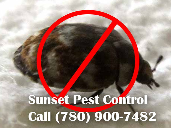 Carpet Beetle Fumigation Service