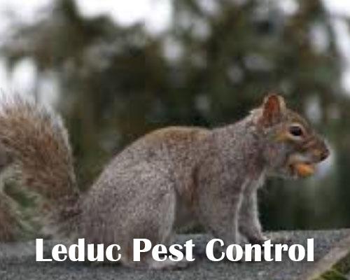 Squirrel Control Nisku